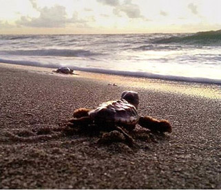 Turtle hatchlings head toward the water