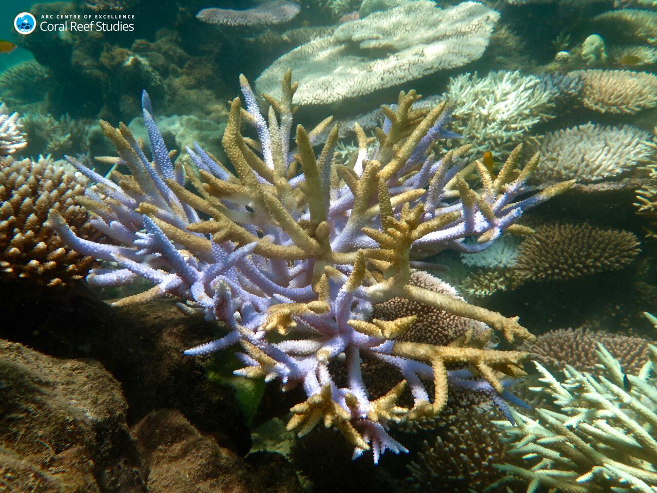 image of dying staghorn coral