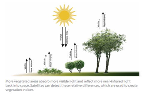 Graphic showing how vegetated areas absorb more visible light and reflect more near-infrared light back into space.